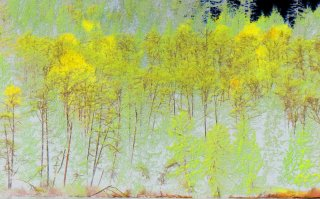 yellow-stand-of-trees.jpg